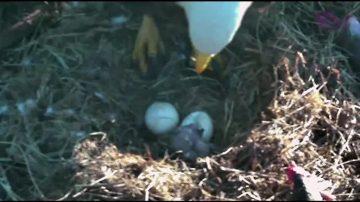 「第一寶寶」終於破殼 小白頭鷹出世
