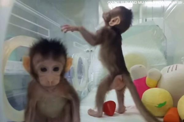 外媒看中国:克隆猴前景堪忧