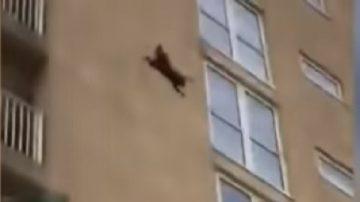 浣熊從10樓高跳下 撇下驚呼圍觀者跑開
