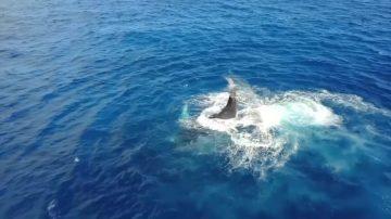 印度洋觀賞座頭鯨 過分接近有風險