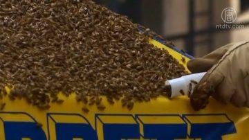 時代廣場蜜蜂過冬 紐約警察專業相助