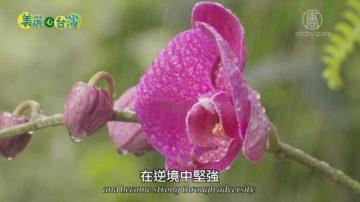 美麗心台灣:信念與堅持 蝴蝶蘭王國的新曙光