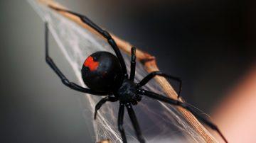 東京驚現紅背蜘蛛  被咬30分內命喪黃泉