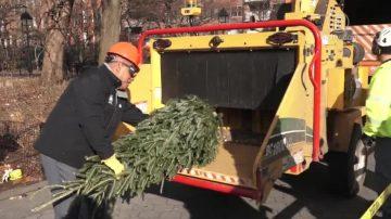 遵循传统 纽约市公园回收圣诞树