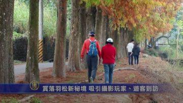 赏落羽松新秘境 吸引摄影玩家、游客到访