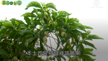 美丽心台湾:徐荣铭种植研发本土祖母绿诺丽果
