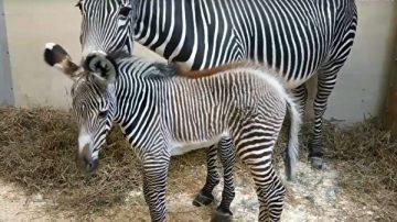 多倫多動物園降生一匹稀有細紋斑馬(視頻)