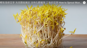 輕鬆發綠豆芽 營養價值很高(視頻)