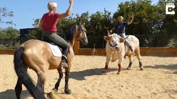 馴馬師養牛當馬騎 不但讓人騎還會馬術