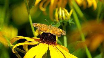 小紅蛺蝶漫天飛 繁殖季遷徙路過南加