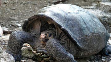消逝112年 頻絕種巨龜現身厄瓜多爾