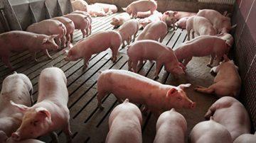 北京對美國豬課徵關稅62% 中國人仍狂買