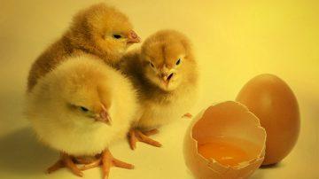 小學作業「孵小雞」 大陸家長崩潰:孵出來更愁