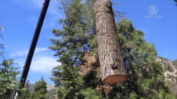 響應川普要求 紐森為森林防火清除環保障礙